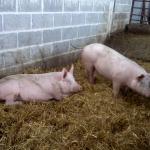cochons du Gaec les chavrots